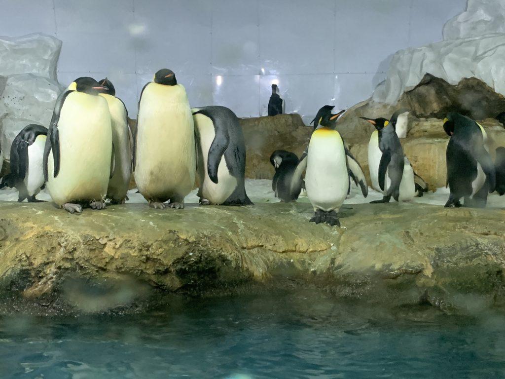 見てよくわかるキングペンギン・コウテイペンギンの違い!実際に違いを見る方法や野生のペンギンを見る方法も詳しく解説!